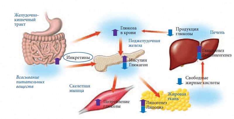 Глюкозозависимые члены
